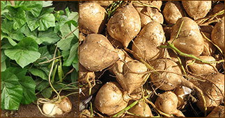 хикама, мексиканский картофель