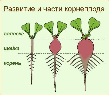 Развитие корнеплода, части корнеплода